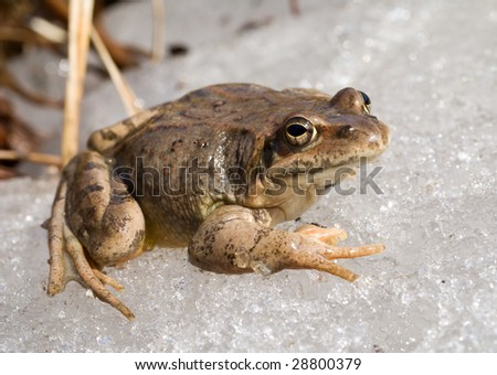 A close up of the frog on snow. Early spring.