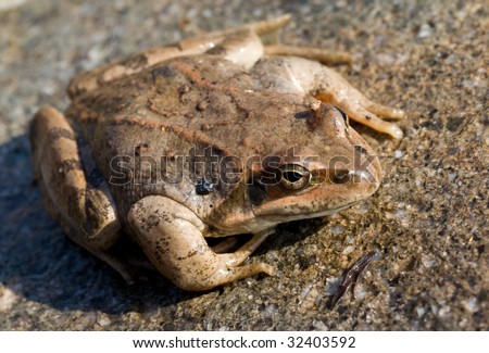 A close up of the frog on stone. Early spring.