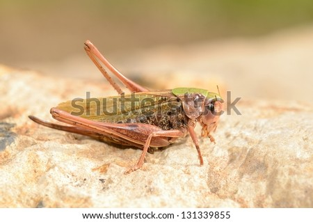 A close up of the grasshopper - stock photo
