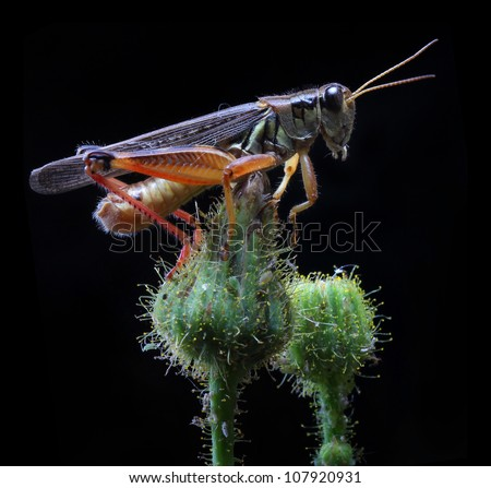 A close up of the grasshopper on flower bud. Isolated on black. - stock photo
