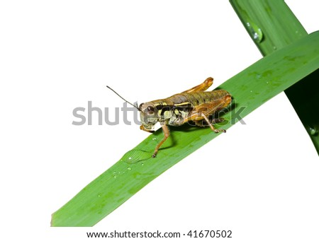 A close up of the grasshopper on grass-blade with drops of dew. Isolated on white.
