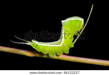A close up of the green caterpillar (Cerura erminea). Isolated on black. - stock photo