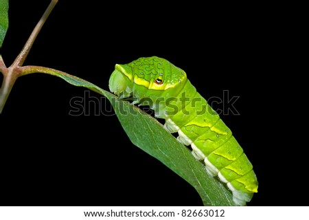 A close up of the green caterpillar on leaf. Isolated on black.