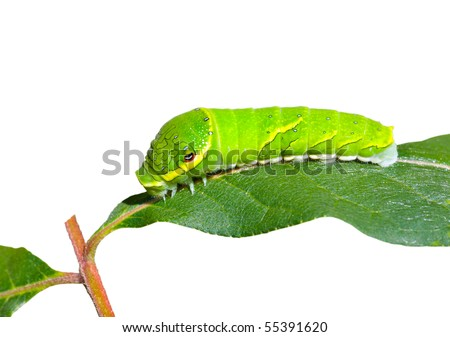 A close up of the green caterpillar on leaf. Isolated on white. - stock photo
