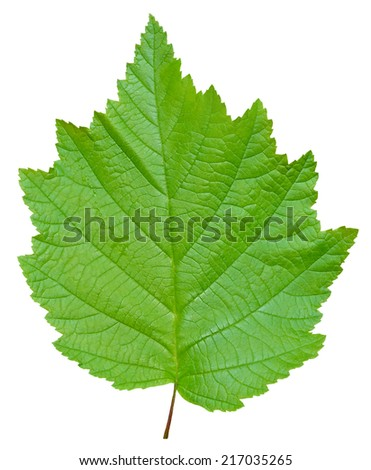 A close up of the green leaf of alder. Isolated on white. - stock photo