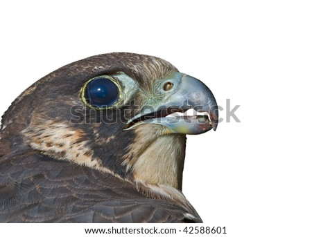 A close up of the head of falcon (Falco subbuteo). Profile. Isolated on white. - stock photo