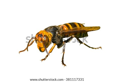A close up of the hornet. Isolated on white. - stock photo