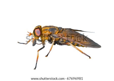 A close up of the horsefly (Tabanid). Isolated on white.