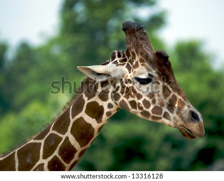 A close up of the long neck and head of a giraffe