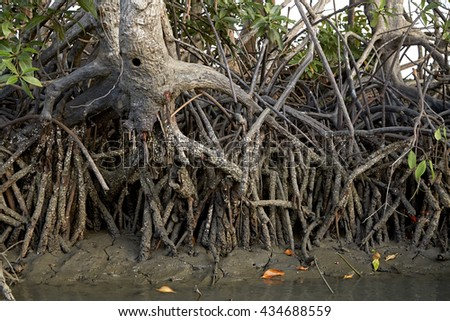 A close up of the magnificent mangrove forest near  - stock photo