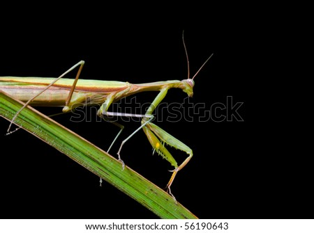 A close up of the mantis on grass-blade. Isolated on black.