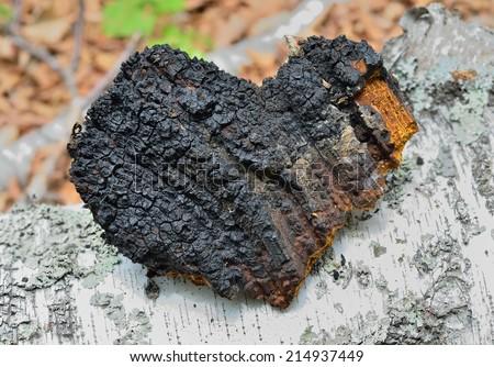 A close up of the medicinal birch mushroom (Inonotus obliquus). - stock photo
