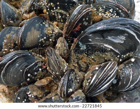 A close up of the mussels. - stock photo