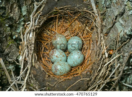 A close up of the nest of thrush with eggs.