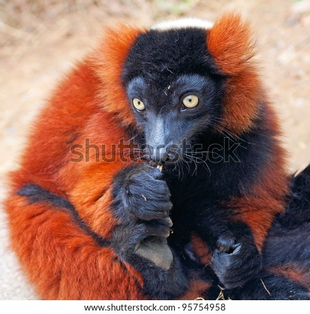 A close up of the rare red ruffed lemur (Varecia rubra) from the island of madagascar - stock photo