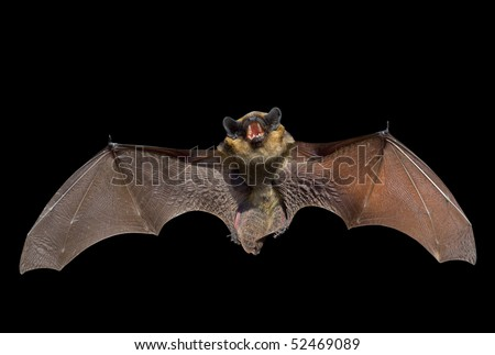 A close up of the small bat. Isolated on black. - stock photo