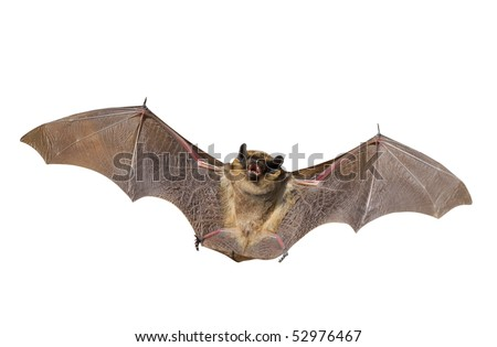 A close up of the small bat. Isolated on white. - stock photo