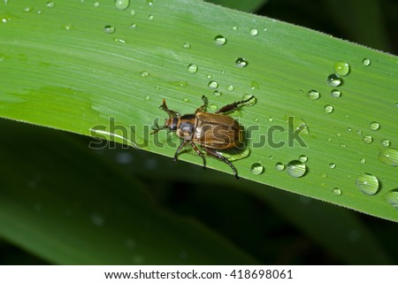 A close up of the small beetle chafer on grass-blade with drops of dew. - stock photo