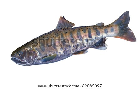 A close up of the small freshwater salmon. Isolated on white. - stock photo