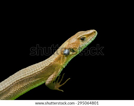 A close up of the small lizard (Tachydromus amurensis). Isolated on black. - stock photo