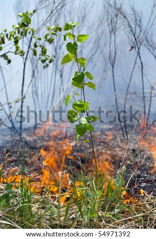 A close up of the small young birch on way of the forest fire. - stock photo