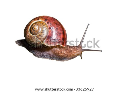 A close up of the snail. Isolated on white. - stock photo