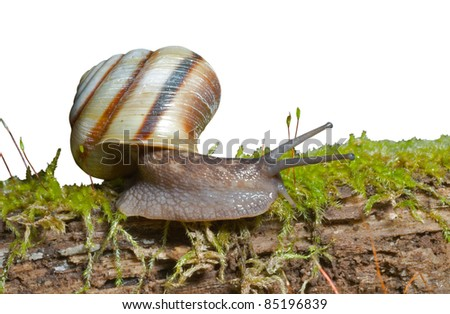 A close up of the snail on moss. Isolated on white. - stock photo