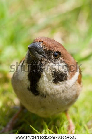 A close up of the sparrow (Passer montanus) on green grass.