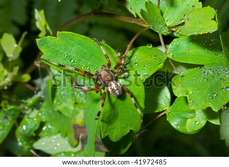 A close up of the spider on leaves with drops of dew. Male. - stock photo