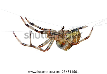 A close up of the spider on spider-web. Isolated on white. - stock photo