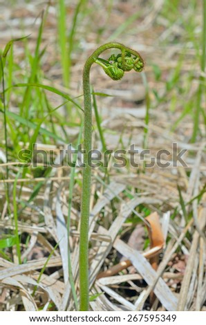A close up of the sprout edible fern bracken (Pteridium aquilinum). - stock photo