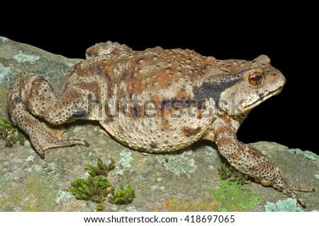 A close up of the toad (Bufo gargarizans). Isolated on black.