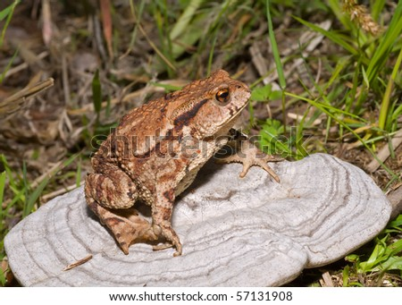 A close up of the toad (Bufo gargarizans) on mushroom (tinder). - stock photo
