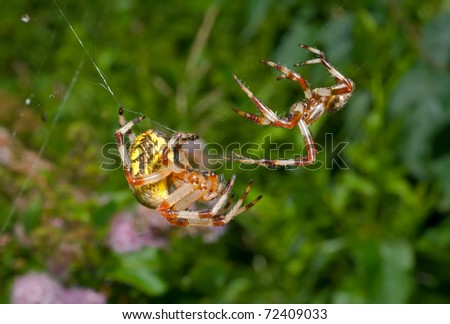 A close up of the two spiders, doe and male. Flirtation. - stock photo