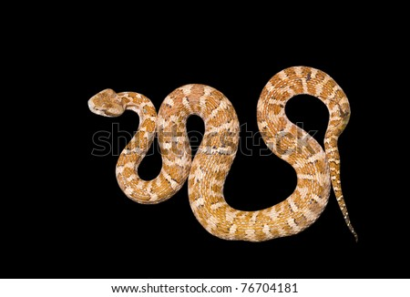A close up of the venomous snake (Agkistrodon saxatilis). Isolated on black.