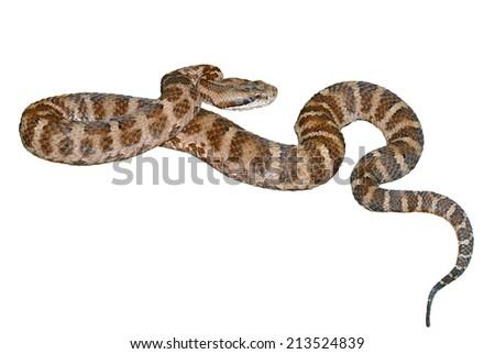 A close up of the venomous snake (Agkistrodon saxatilis). Isolated on white. - stock photo