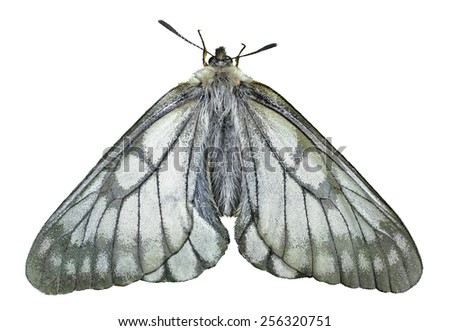 A close up of the white butterfly (Papilio stubendorfi). Isolated on white. - stock photo