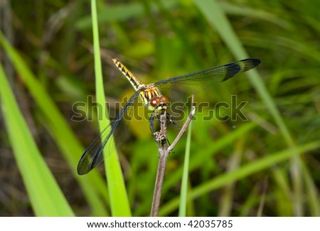 A close up of the yellow dragonfly on grass-blade.