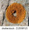 A close up of the yellow lichen as a  ring on a stone. - stock