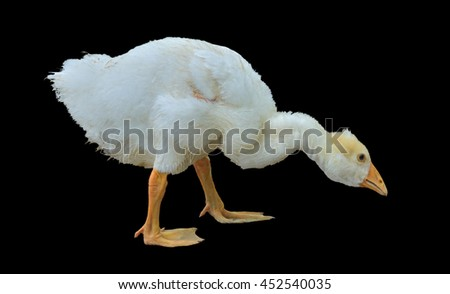 A close up of the young white gosling. Isolated on black. - stock photo