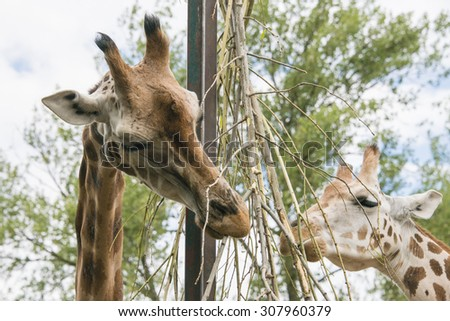A close up of two giraffes eating at Chester Zoo - stock photo