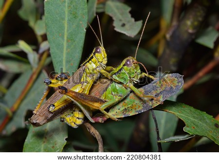 A close up of two grasshoppers (Locust) on leaf, copulation.