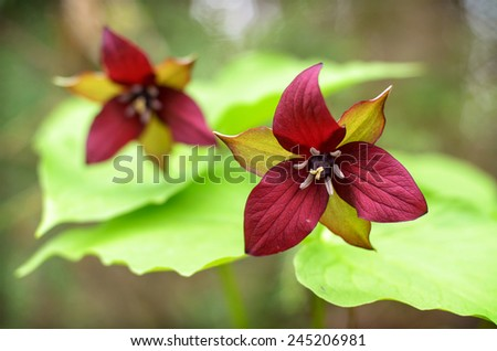 A close up of two red Trilliums in a forest in Muskoka, Ontario Canada during the spring season.  - stock photo