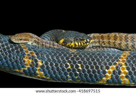 A close up of two snakes (Elaphe schrenckii and  Elaphe dione). Isolated on black. - stock photo