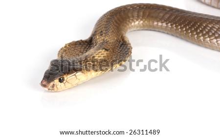 a close up photo of a cobra snake - stock photo