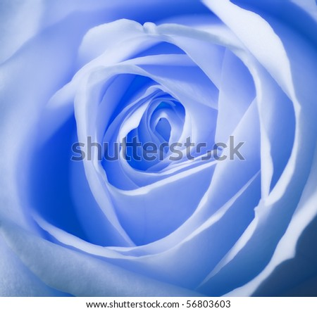A close-up photo of a light blue rose