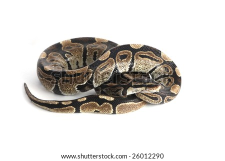 a close up photo of a snake - stock photo