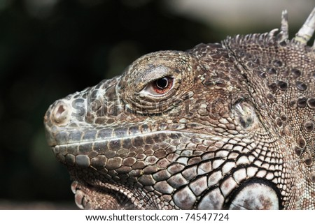 A close up photo of a tropical lizard - stock photo