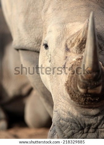 A close up photo of an endangered white rhino / rhinoceros face,horn and eye.  - stock photo