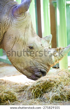 A close up photo of an endangered white rhino / rhinoceros face,horn and eye.